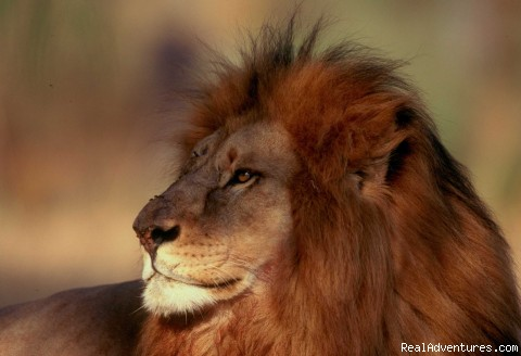 Lion, Etosha National Park, Namibia - New African Frontiers Tours & Safaris