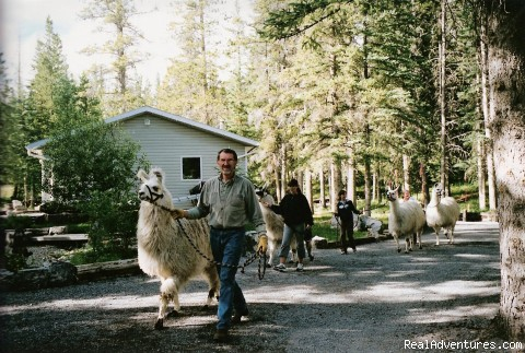 Walking the llamas - Cheechako Cabins, your Rocky Mountain Getaway