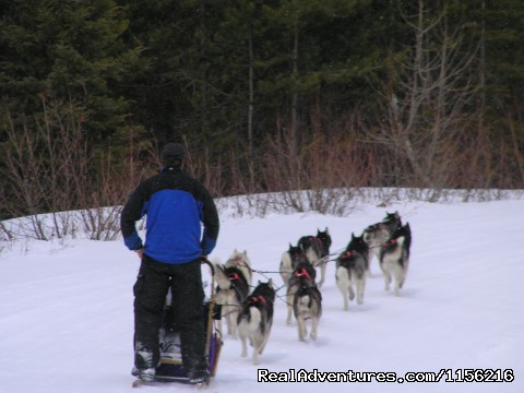Purebred Siberian Huskies - Dog Sledding  100 Mile House, Cariboo