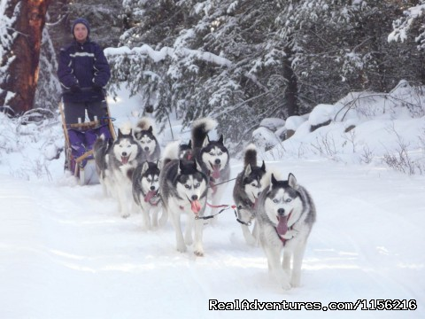 Guest with her own team - Dog Sledding  100 Mile House, Cariboo