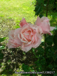 Pink Rose in the Garden. - Family run Bed and Breakfast.