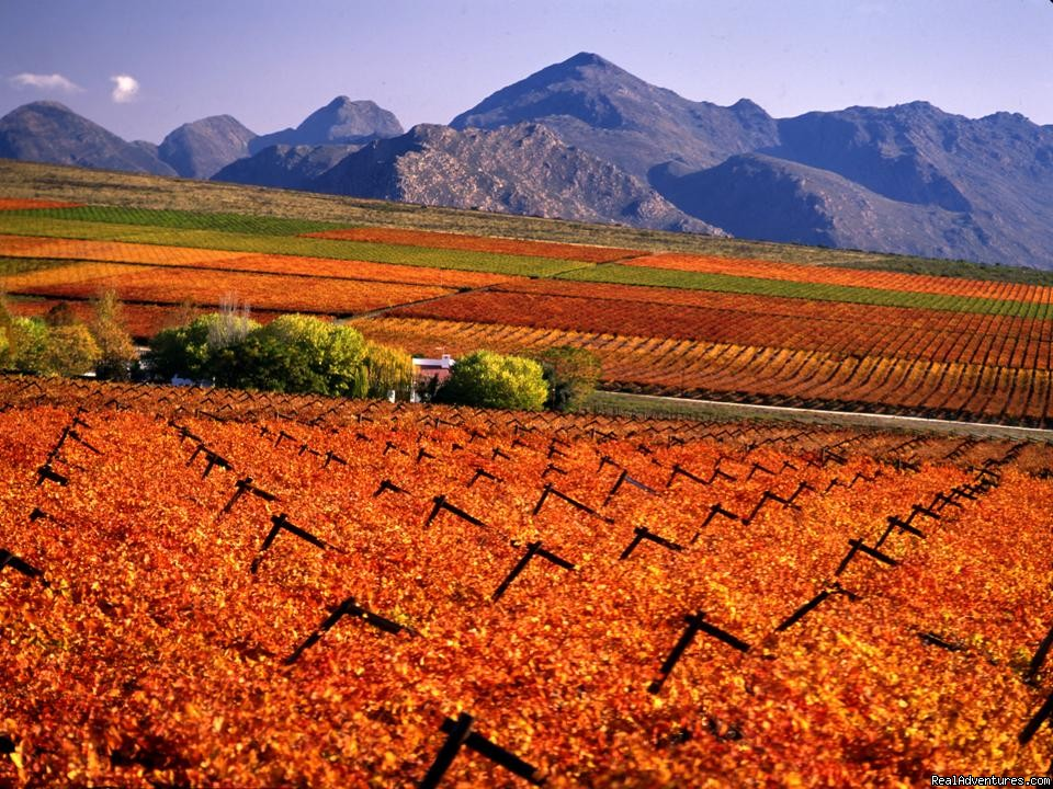 Winelands in the Autumn
