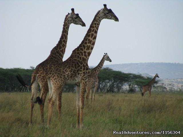 - Tanzania Safari - Serengeti & Ngorongoro Crater