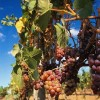 Grapes on the Vine at Vine Time