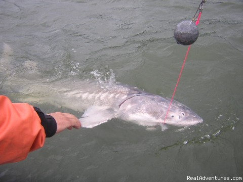Columbia Trophy Sturgeon - Guided Sportfishing Trips for Salmon & Sturgeon