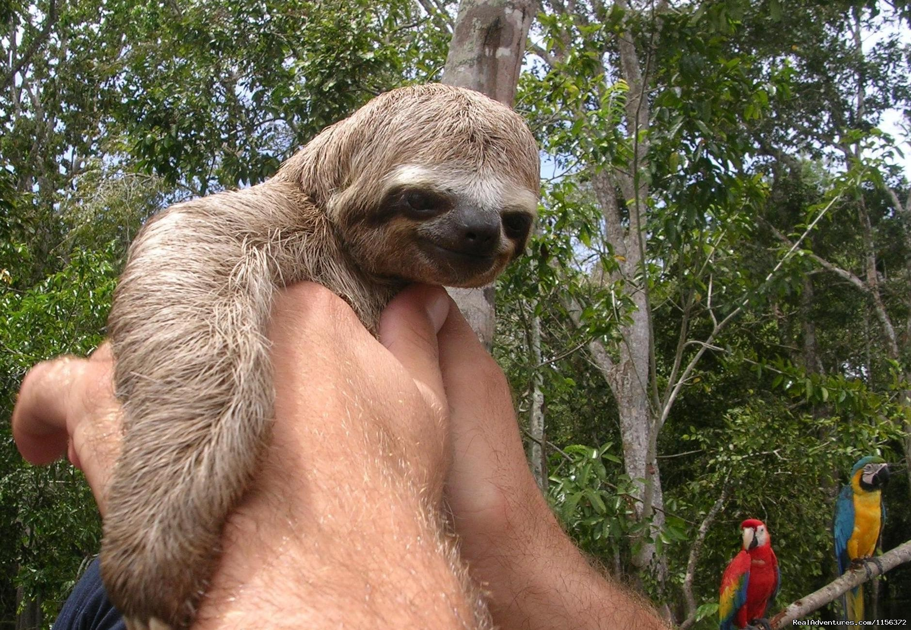 the cute sloth. | Image #8/11 | Brazil Manaus Amazon Jungle Tours