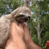 the cute sloth.