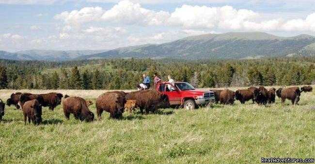Image #20/22 | Bison Quest bison and wildlife adventure vacations
