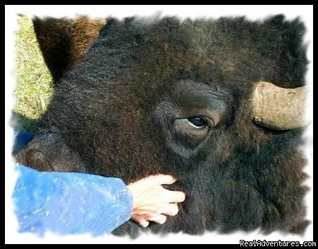 Meet the largest animal in North America | Image #16/22 | Bison Quest bison and wildlife adventure vacations