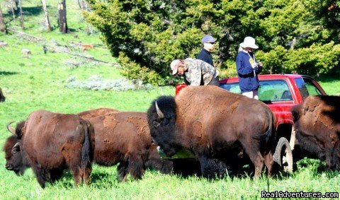 Bison Quest bison and wildlife adventure vacations Bozeman, Montana  Wildlife & Safari Tours