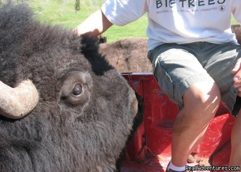 Face to face | Image #7/22 | Bison Quest bison and wildlife adventure vacations
