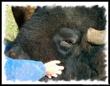 Meet the largest animal in North America - Bison Quest bison and wildlife adventure vacations