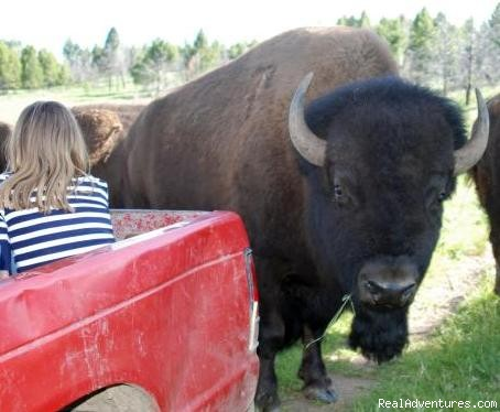 Wooly Bully meeting the guests - Bison Quest bison and wildlife adventure vacations