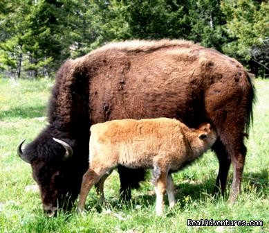 Buffalo baby breakfast - Bison Quest bison and wildlife adventure vacations