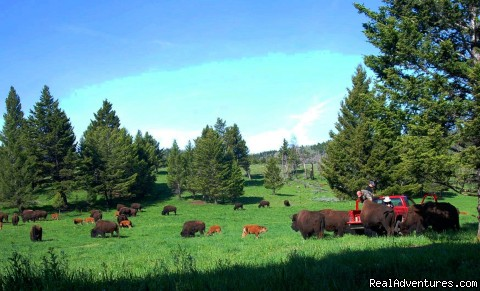 June afternoon in Buffalo Gulch - Bison Quest bison and wildlife adventure vacations