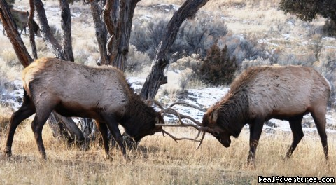 Yellowstone National Park - Bison Quest bison and wildlife adventure vacations