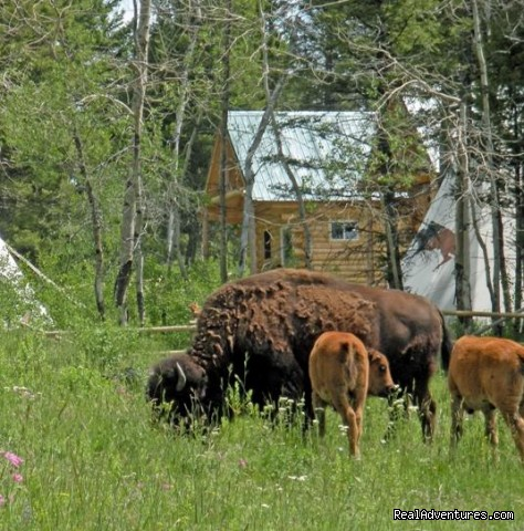 Bison and babies surround the camp - Bison Quest bison and wildlife adventure vacations