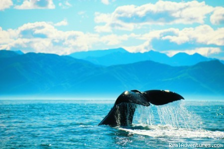 Whale watching - Haka Tours - New Zealand Adventure & Snow Tours