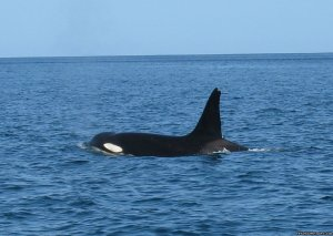 Orcas & Humpback Whales In Costa Rica-Bill Beard Playa Hermosa, Costa Rica Articles