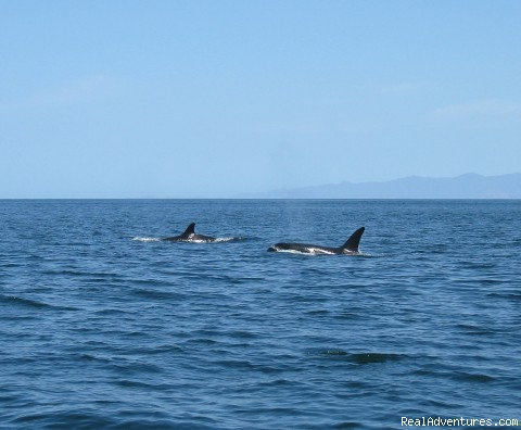 Orcas In Costa Rica - Orcas & Humpback Whales In Costa Rica-Bill Beard