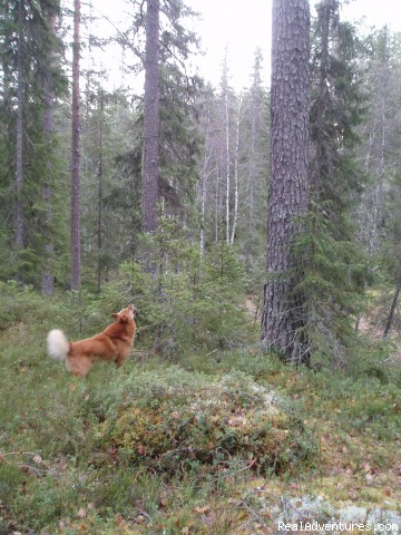 A barking tree dog at work - Hunting and Fishing in Sweden