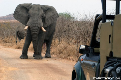 Elephant  - Kruger National Park Safaris