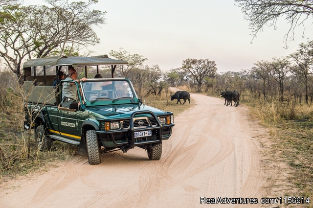 Buffalo - Nhongo Safaris (Kruger National Park Safaris)