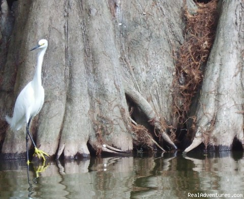 Snowy Egret (#13 of 26) - Birding, Eco and Kayak Tours in Central Florida
