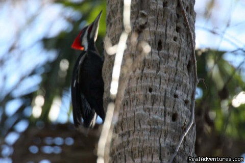 Pileated Woodpecker compliments of Derek (#6 of 25) - Birding, Eco and Kayak Tours in Central Florida