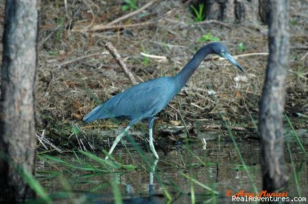 Little Blue Heron (#15 of 26) - Birding, Eco and Kayak Tours in Central Florida