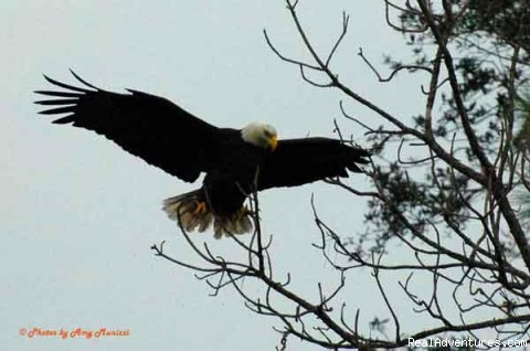 The mighty Bald Eagle - Birding, Eco and Kayak Tours in Central Florida