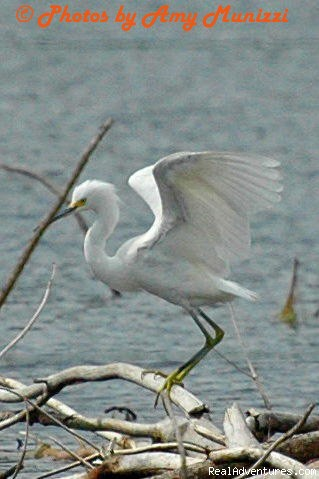 Snowy Egret (#20 of 26) - Birding, Eco and Kayak Tours in Central Florida