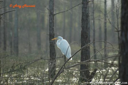 The Great Egret (#24 of 25) - Birding, Eco and Kayak Tours in Central Florida
