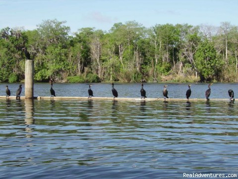 The more the merrier Cormorants (#22 of 25) - Birding, Eco and Kayak Tours in Central Florida