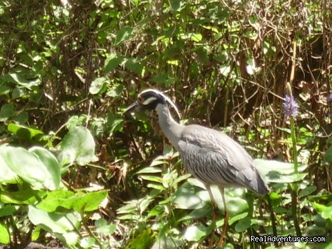 Yellow Crowned Night Heron (#16 of 26) - Birding, Eco and Kayak Tours in Central Florida