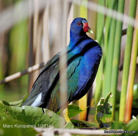 Birding, Eco and Kayak Tours in Central Florida Purple Gallinule photo from Marc's CFNA Photography Tour
