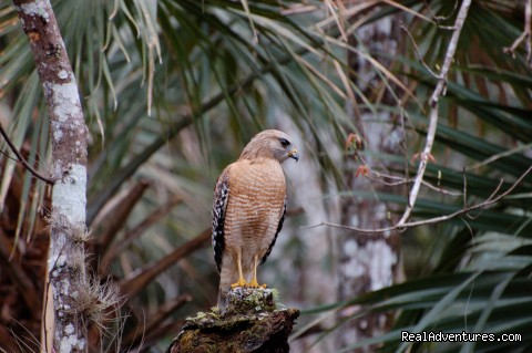 Pauline's Wekiva River Red-shouldered Hawk (#10 of 26) - Birding, Eco and Kayak Tours in Central Florida