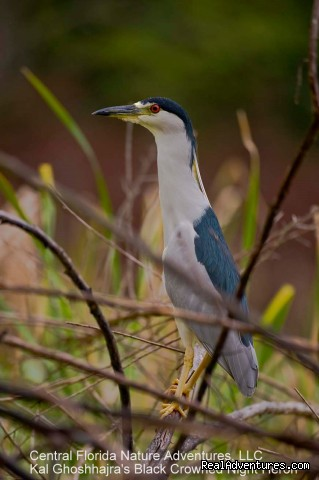 Kal's Black Crowned Night Heron (#11 of 25) - Birding, Eco and Kayak Tours in Central Florida