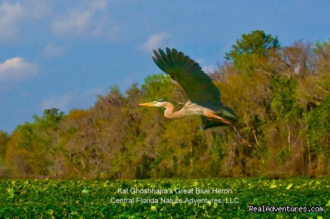Kal's Great Blue Heron (#8 of 25) - Birding, Eco and Kayak Tours in Central Florida
