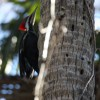 Pileated Woodpecker compliments of Derek