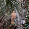 Pauline's Wekiva River Red-shouldered Hawk