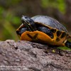 Kal's Redbellied Turtle