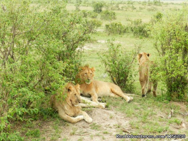 Lions Taking a rest - Kenya Wildebeest Migration Safari offer 2013