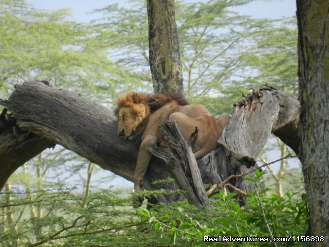 Tree Climbing lions - Kenya Wildebeest Migration Safari offer 2013