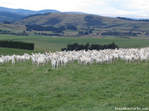 Cashmere Goats - Romantic South Island Vacations New Zealand