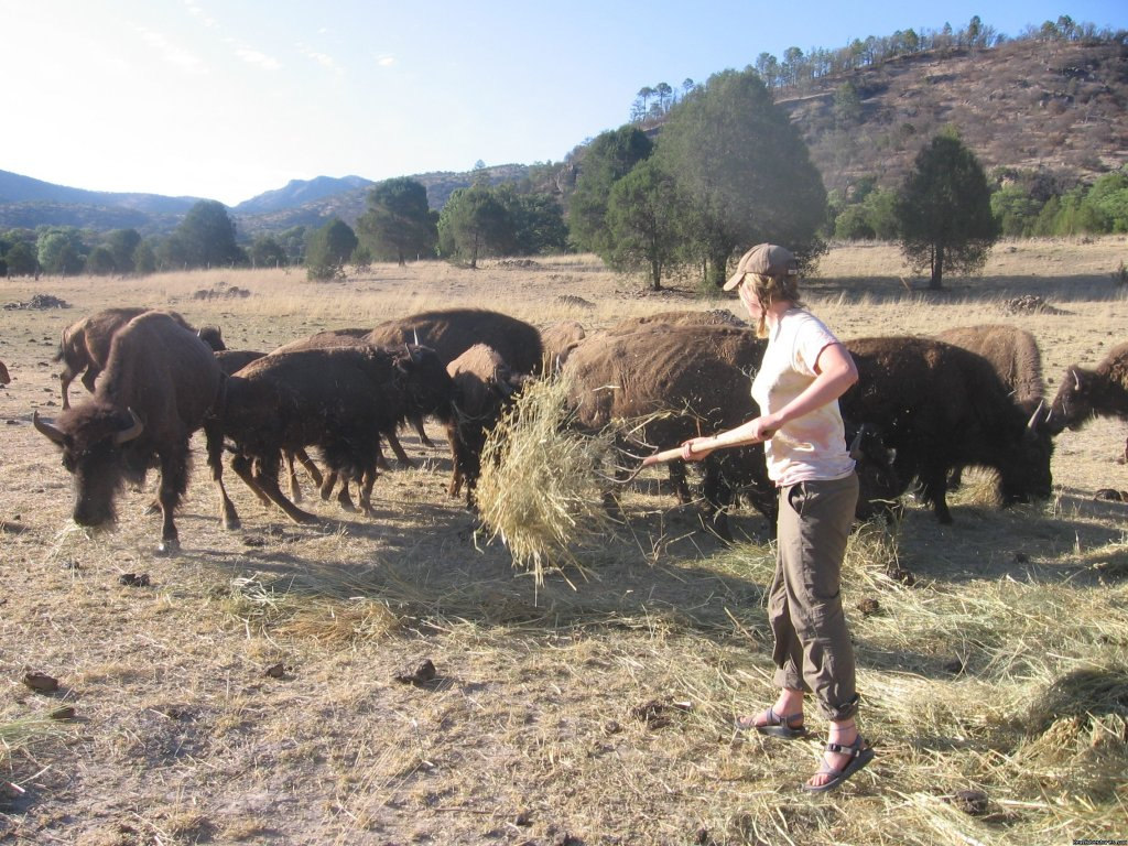 Feeding the Buffalo, we have a herd of 27 | Image #7/16 | Remote Conservation Ranch By Copper Canyon Region