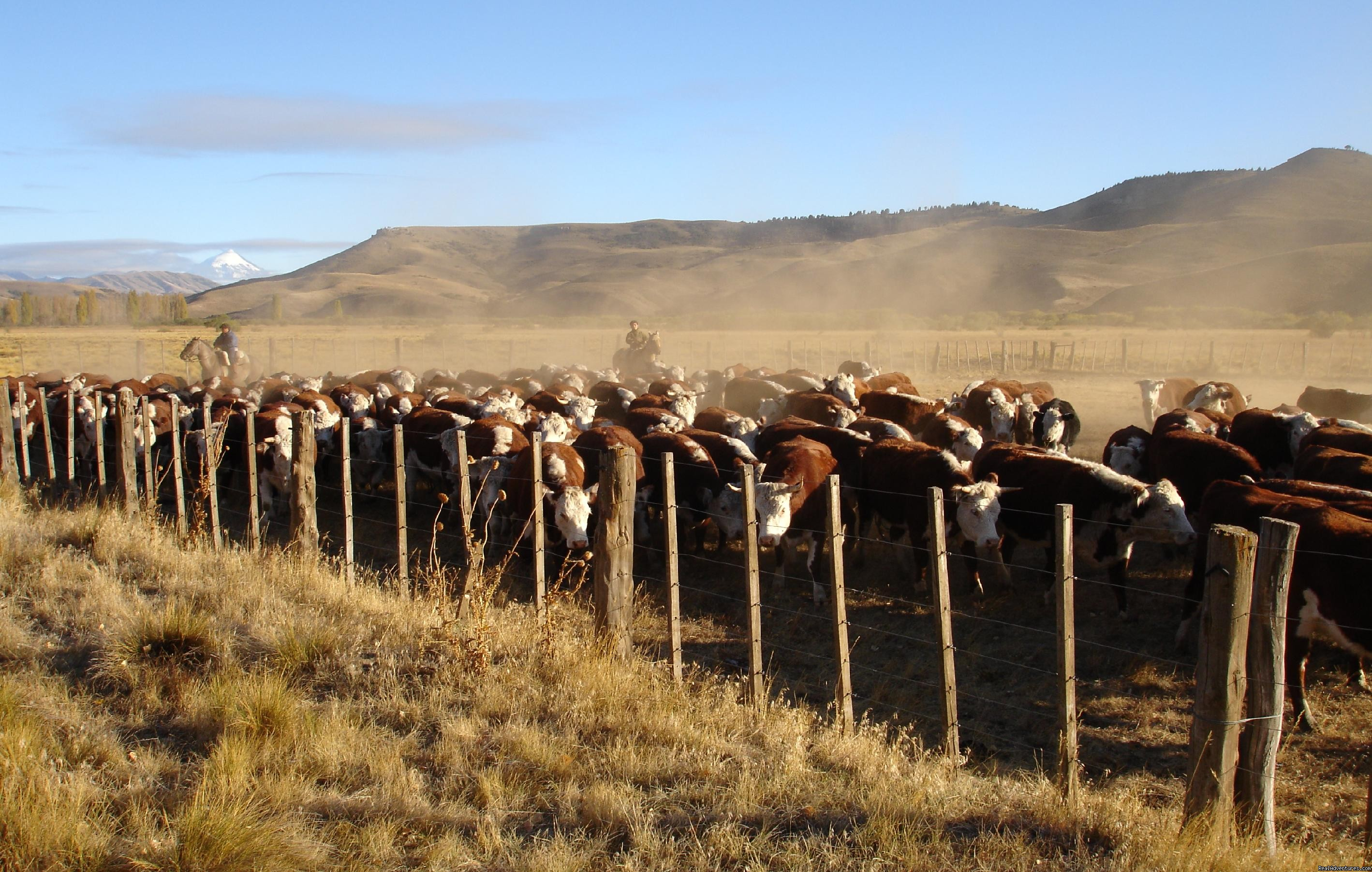 Rounding up cattle | Image #5/9 | Horseback riding