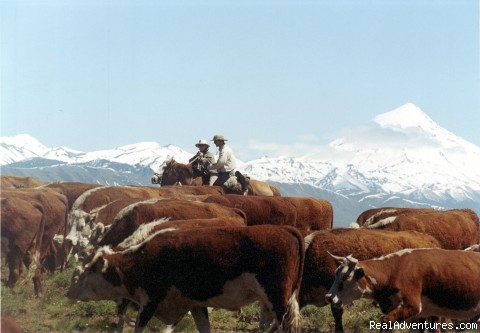Horseback riding: Cattle work near Lanin Volcano