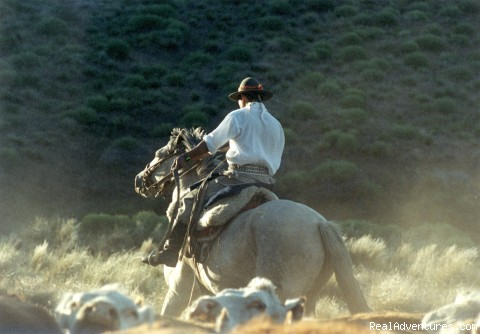 Argentine gaucho rounding up cattlr - Horseback riding