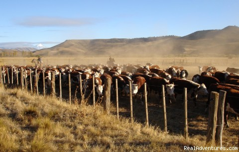 Rounding up cattle - Horseback riding